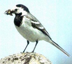 Alle Vogelarten bestimmen - Heimische Vgel Online